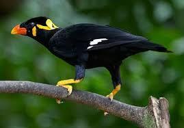 harga burung beo, urung beo dijual, suara burung beo, suara burung beo bicara, burung beo sakit, jenis burung beo