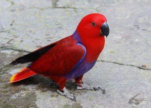harga burung nuri kepala hitam, jual burung nuri, burung nuri jantan, burung nuri mp3, suara burung nuri, burung nuri kepala hitam