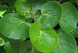 daun mangkokan untuk rambut, daun mangkokan english, manfaat daun mangkokan bagi kesehatan, manfaat daun mangkokan, daun mangkokan untuk rambut rontok, klasifikasi daun mangkokan