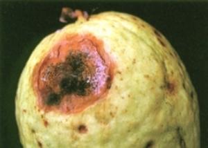 penyakit tanaman jambu batu, penyakit tanaman jambu biji, penyakit tanaman jambu air, penyakit tanaman jambu biji, penyakit tanaman jambu, penyakit pada tanaman jambu bol