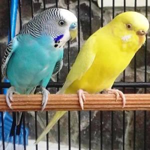 harga burung parkit, harga burung parkit 2012, jual burung parkit jinak, suara burung parkit, ternak burung parkit, makanan burung parkit