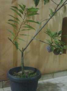 budidaya srikaya download, budidaya tanaman srikaya, srikaya annona squamosa, buah srikaya, tumbuhan srikaya, tanaman pohon srikaya