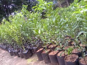 cara tanam lengkap dan budidaya tanaman buah buahan, membibitkan tanaman buah-buahan, pengertian budidaya tanaman, cara membibitkan tanaman, rpp membibitkan tanaman perkebunan, cara membibitkan tanaman anggur