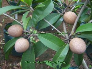 sawo fruit, sawo lengkeng, sawo kecik, sapodilla, sawo jumbo, sawo duren, sawo wood, sawo steam generator, sawo inc