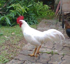 Manfaat ayam bagi manusia, jenis-jenis ayam dan manfaatnya, manfaat dan khasiat berbagai aneka macam jenis ayam