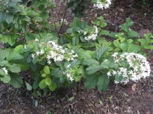 jenis-jenis tanaman hias bunga nona makan sirih, clerodendrum tree types and names, clerodendrum calamitosum for sale, clerodendrum bungei, clerodendrum inerme