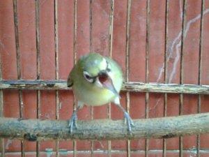 melatih burung makan voer, melatih burung hantu, melatih burung elang, melatih burung ciblek, melatih burung dara, melatih burung nuri, melatih burung trucukan, melatih burung cendet
