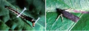 cara mengatasi mengusir ulat pada tanaman pohon buah