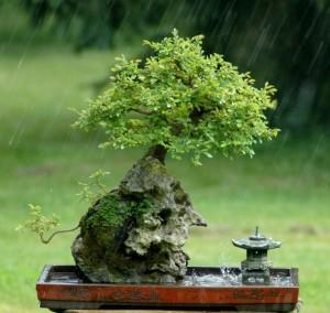bonsai ulmus Indonesia, bonsai ulmus parvifolia, bonsai ulmus procera, bonsai ulmus chinese, ulmus parvifolia bonsai