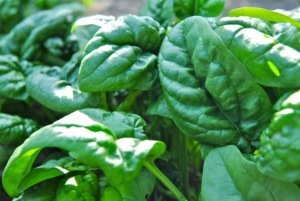 bayam savoy, savoy spinach recipe, savoy spinach seeds, bloomsdale savoy spinach seeds, savoy spinach term, fresh spinach, fresh spinach recipes