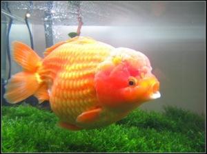 perawatan ikan mas koki, ternak ikan mas koki, jenis ikan mas koki, ikan mas koki berenang terbalik, harga ikan mas koki, makanan ikan mas koki, jual ikan mas koki, perbedaan ikan mas koki jantan dan betina