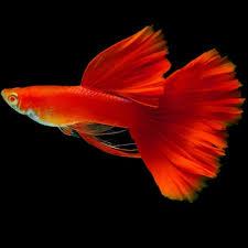 Blog Jenis Ikan: Jenis Ikan Guppy Termahal dan Terbaik ...