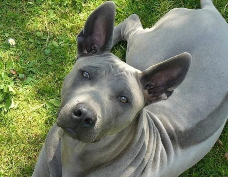 Mah Thai Lang Ahn | Dog Breeds Picture
